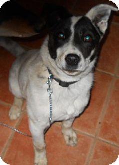 Australian Cattle Dog/Border Collie Mix Dog for adoption in dewey, Arizona - Durfey