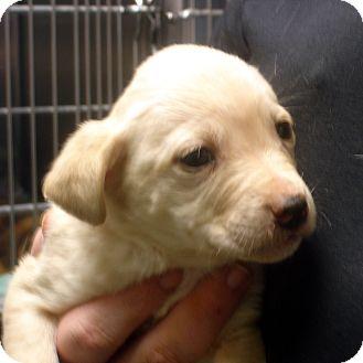 Labrador Retriever Mix Puppy for adoption in Greencastle, North Carolina - Jericho