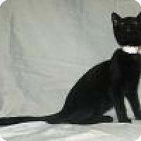 Adopt A Pet :: Korky - Powell, OH