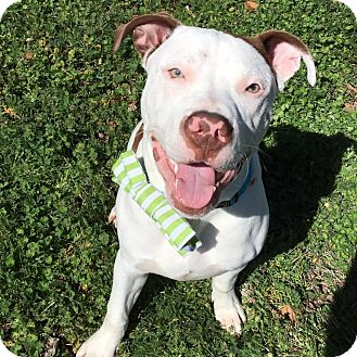 Pit Bull Terrier Mix Dog for adoption in Wichita Falls, Texas - Captain