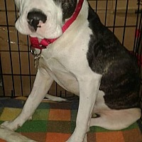 Pit Bull Terrier Mix Dog for adoption in Detroit, Michigan - Winston *Amputee*