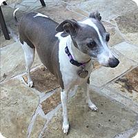 Adopt A Pet :: Micah in DFW area - Argyle, TX