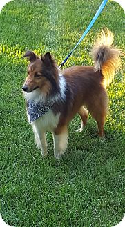 Sheltie, Shetland Sheepdog Dog for adoption in New Castle, Pennsylvania - Dusty (ADOPTED)