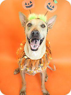 Pharaoh Hound/Shar Pei Mix Dog for adoption in Phoenix, Arizona - Brody