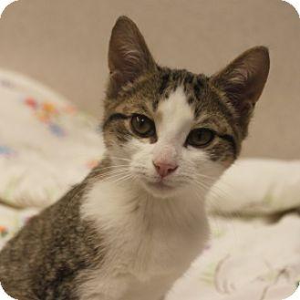 Domestic Shorthair Kitten for adoption in Naperville, Illinois - Nick Nick
