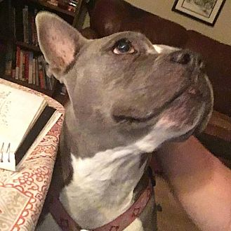 French Bulldog/Staffordshire Bull Terrier Mix Dog for adoption in Irving, Texas - Gremlin