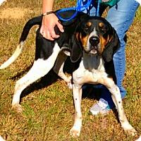 Treeing Walker Coonhound Mix Dog for adoption in Washington, Pennsylvania - Midas