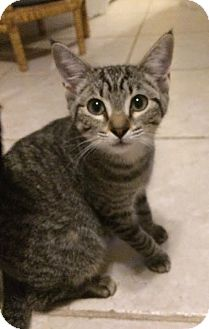 Domestic Shorthair Kitten for adoption in Fort Pierce, Florida - Granite