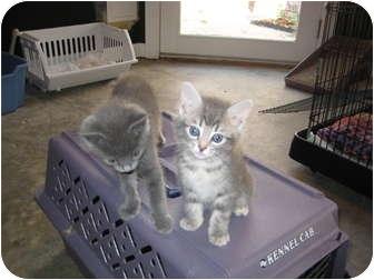 Russian Blue Kitten for adoption in Jeffersonville, Indiana - Poppy