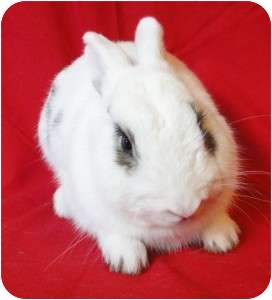 Dwarf Hotot Mix for adoption in Los Angeles, California - Spud