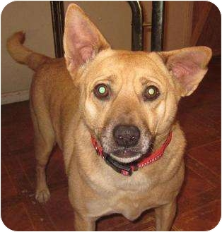 German Shepherd Dog/Labrador Retriever Mix Dog for adoption in Afton, Tennessee - Cisco