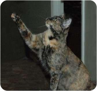 Bengal Cat for adoption in Chula Vista, California - Cinder