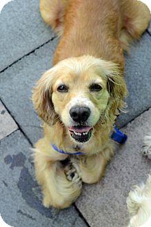 Cocker Spaniel Dog for adoption in New York, New York - Florence