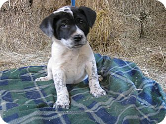 St. Bernard/Australian Cattle Dog Mix Puppy for adoption in Humboldt, Tennessee - Lakota