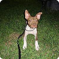 Adopt A Pet :: Prada - Pompano Beach, FL