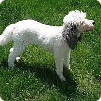 Adopt A Pet :: Alley Oop - South Amboy, NJ