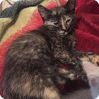 Adopt A Pet :: Black Canary - McDonough, GA