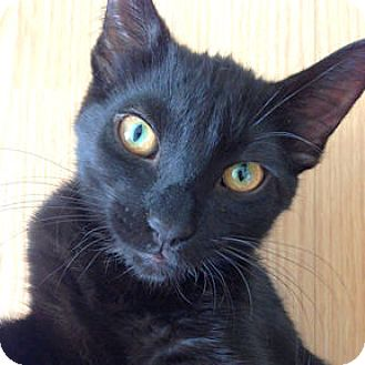 Domestic Shorthair Kitten for adoption in Verdun, Quebec - Carbone