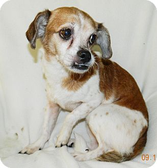 Beagle Mix Dog for adoption in Umatilla, Florida - Mocha