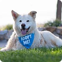 Husky Mix Dog for adoption in Pacific Grove, California - Tanik
