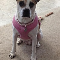 Adopt A Pet :: Callie - Huntley, IL
