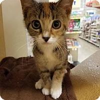 Adopt A Pet :: Sepia - Tampa, FL