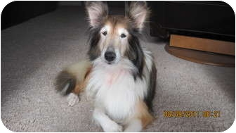 Sheltie, Shetland Sheepdog Dog for adoption in apache junction, Arizona - Lilly