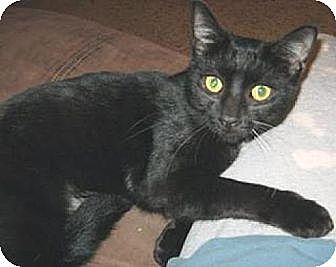 Domestic Shorthair Cat for adoption in Miami, Florida - Silky