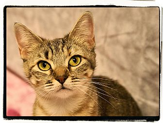 Domestic Shorthair Cat for adoption in Elmwood Park, New Jersey - Sahara