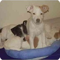Adopt A Pet :: JRT Babies x4 - Miami, FL