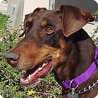 Adopt A Pet :: Scooby - Las Vegas, NV