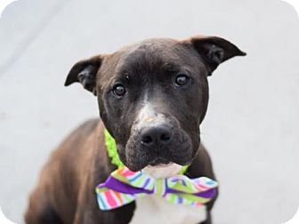 American Pit Bull Terrier Mix Dog for adoption in Ridgefield, Connecticut - Mason