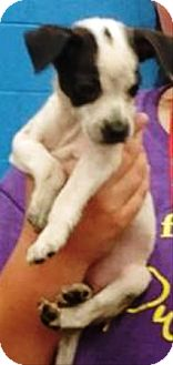 Pug/Chihuahua Mix Puppy for adoption in Oswego, Illinois - Buttons