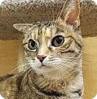 Domestic Shorthair Cat for adoption in Irvine, California - Tabitha