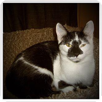 Domestic Shorthair Kitten for adoption in Medford, Wisconsin - JAXSON
