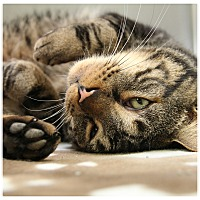 Adopt A Pet :: Mr. Meow - Forked River, NJ