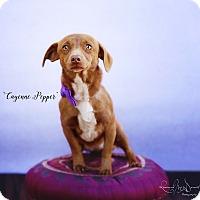 Adopt A Pet :: Cayenne Pepper - Lubbock, TX