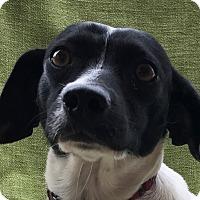 Adopt A Pet :: Cassidy - Garland, TX