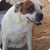 Adopt A Pet :: Munchkin - Las Vegas, NV