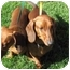 Photo 3 - Dachshund Dog for adoption in Garden Grove, California - Charlotte