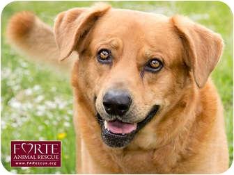 Golden Retriever/Labrador Retriever Mix Dog for adoption in Marina del Rey, California - Cerious