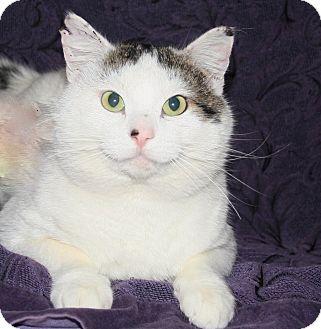 Domestic Shorthair Cat for adoption in Kalispell, Montana - Ringo