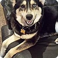 Adopt A Pet :: *Shaina - PENDING - Westport, CT