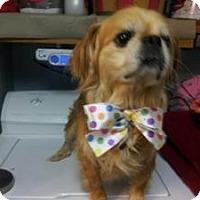 Adopt A Pet :: Sir Lancelot - Raleigh, NC
