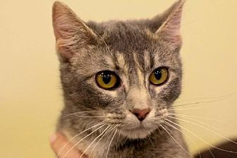 Domestic Shorthair Cat for adoption in Eldora, Iowa - Felicity