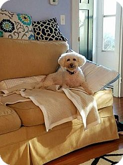 Bichon Frise Dog for adoption in Greensboro, Maryland - Phoebe