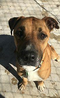 Labrador Retriever/Shepherd (Unknown Type) Mix Dog for adoption in Hanna City, Illinois - Nikey-adoption pending
