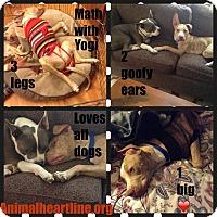 Adopt A Pet :: Yogi - Lombard, IL