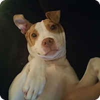 Adopt A Pet :: Honey - Aurora, IL