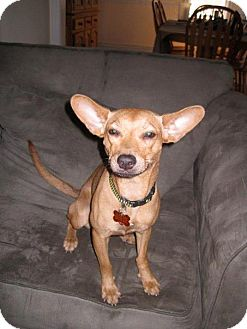Miniature Pinscher/Terrier (Unknown Type, Medium) Mix Dog for adoption in Madison, New Jersey - Foxy